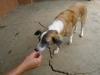 Hundar gillar kokos