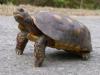 Sköldpaddor finns överallt på ön