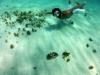 Ball fisk med vingar, Tobago Cays